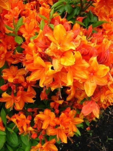 bronzegelb blühende Garten Azalee Rhododendron luteum Golden Eagle 40-50 cm hoch im 5 Liter Pflanzcontainer