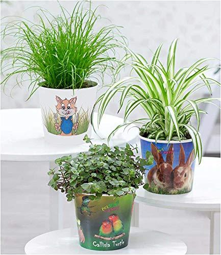 """BALDUR-Garten Pflanzen-Set""""Leckereien für ihr Haustier"""", 3 Pflanzen Chlorophytum 'Hase', Katzengras und Callisia 'Turtle' Zimmerpflanzen"""