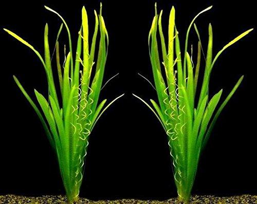 WFW wasserflora MUTTERPFLANZEN Riesenvallisneria/Vallisneria gigantea