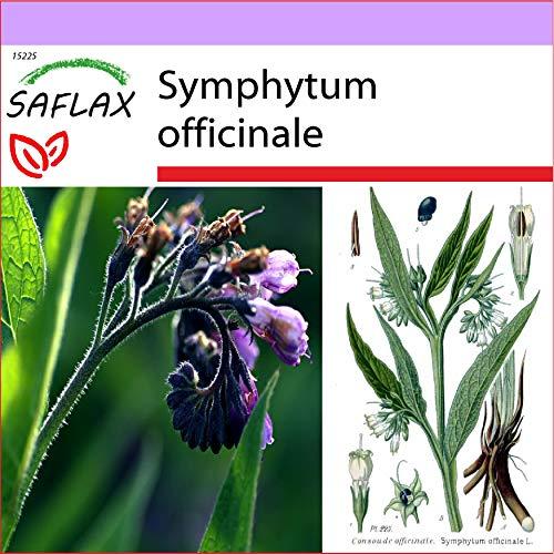 SAFLAX - Consuelda - 15 semillas - Symphytum officinale