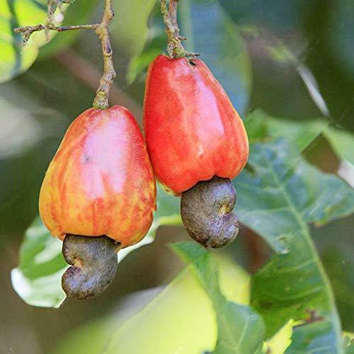 TENGGO Egrow 10 Teile/Beutel Cashew-nüsse Samen Cashew-nüsse Baum Samen Bonsai Blumen Pflanzen für Hacke Garten Samen