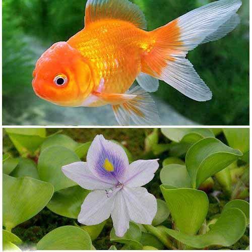 (国産金魚)オランダ獅子頭(1匹) + ホテイ草(1株) セット