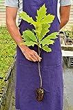 La quantità del pacchetto è 28187 Vendiamo solo semi Semi ad alto tasso di germinazione La restituzione della merce non è disponibile Quercus Rubra alveolo 1 semi rossi