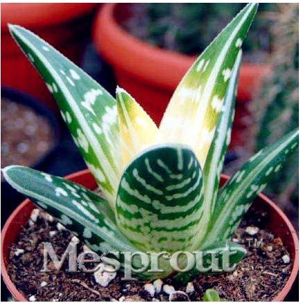 New Rare Aloe Variegata 100+ Seeds