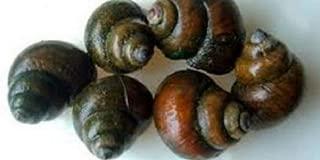HOT! 10 Large Japanese Trapdoor Snails
