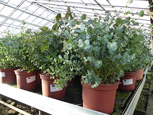 XXL Eucalyptus Gunni Gunnii Busch Eukalyptusbaum 70-90 cm, Pflanze winterhart