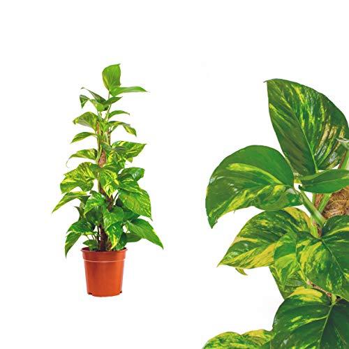 Scindapsus Epipremnum Efeutute in verschiedenen Grössen und Formen - am Moosstab, hängend als Ampel oder im Topf - Pflegeleichte immergrüne Zimmerpflanzen (1Moosstab 60cm)
