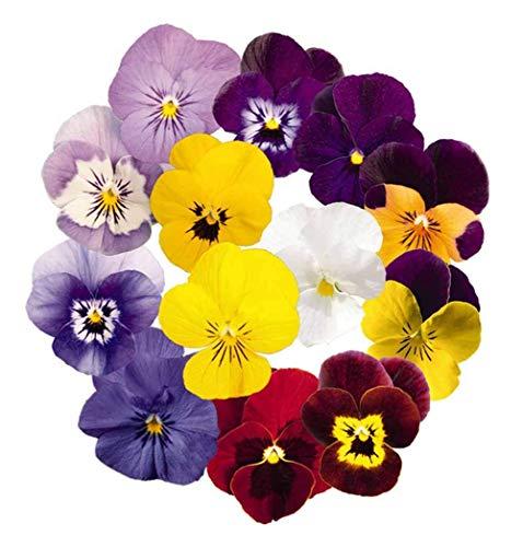 Stiefmütterchen-Blumensamen 30+ Bio Leicht zu züchtende Bratsche Johnny Jump Up Viola Tricolor Mixed Colors Pflanze für Hausgarten Outdoor Yard Farm Planting