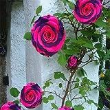 Generic Fresh 300 pcs SEMILLAS de flores raras de rosal para plantar Rosa violeta oscuro