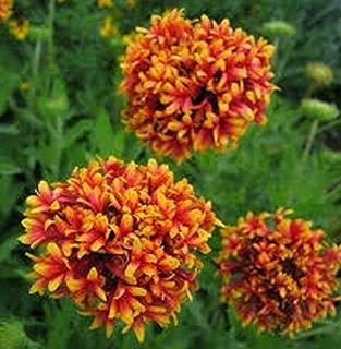 Seeds Gaillardia Pulchellla Blanket Flower Sundance Bicolor Get 50 Seeds #SAP01YN
