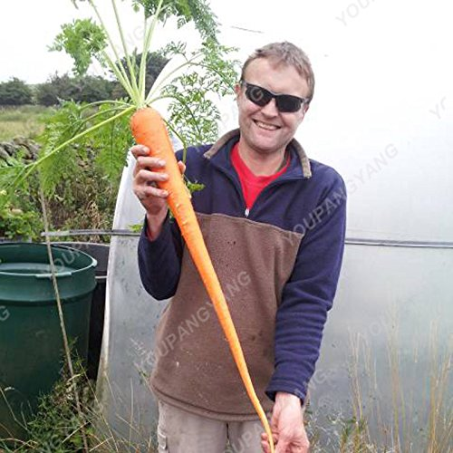 200pcs super géant carotte Semences potagères Heirloom russe Graines bio pour jardin Plantes sucrées et fruits sains Graines Plum