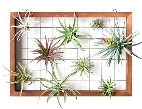 Mkono Air Plant Frame Tillandsia Wall Display, 7 7/8 Inch, 16 Inch 3 A wonderful way to display your tillandsias. This frame allows air and light to pass through. With hooks at the back, easy to hang anywhere, wall, windows or outdoor.