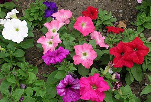Pétunia Unicum Mélange Graines de belles fleurs annuelles