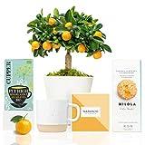 Set Gourmet Regalo Little Orange con Naranjo Enano Calamondin 38 cm en maceta de 16 cm, guía de cuidados, taza de cerámica, infusión ecológica y galletas artesanales entregado en caja de regalo
