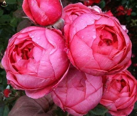 SVI frescas 20pcs semillas de flores de peonía roja para plantar 1
