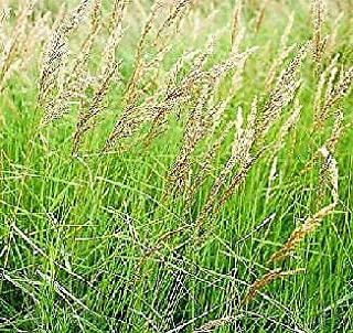 Somarac - Fresh Seeds - Calamagrostis Canadensis 1,000 Seeds
