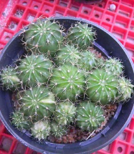 Melocactus ruestii abigarrada colección de cactus exótico rara semil