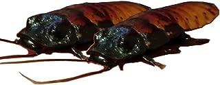 Best hissing cockroach pet Reviews