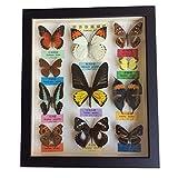 SHUAI True Butterfly Specimen Crafts