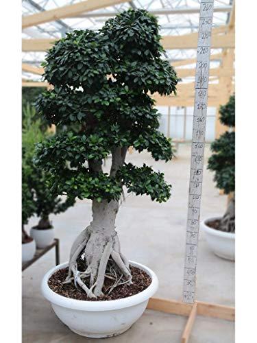 Bonsai Ficus King Of Ginseng Big