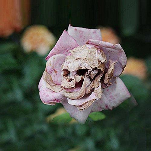 La mort Rose semences rares et espèces de plantes mystérieuses de snapdragon fleur gousses crâne 50 particules / sac