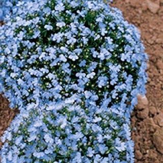 60+ Wonderland Blue Fragrant Alyssum Flower Seed Perennial/Ground Cover