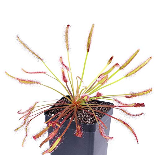 9GreenBox - Cape Sundew Plant - 3'' Pot