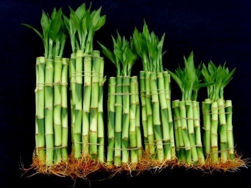 60 Stalks of Straight Lucky Bamboo (4