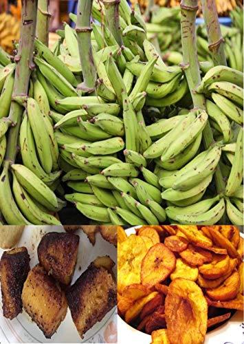 Portal Cool 5 graines comestibles Plantain banane verte