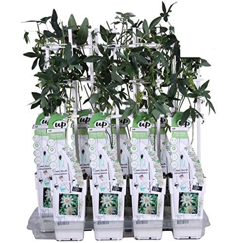 Winterharte Passionsblume Passiflora Riverside® Snow Queen 60-70 cm - exotische Schönheit - mehrjährige Kletterpflanze