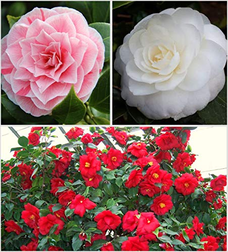 3X Camellia Japonica Colour Variety Collection