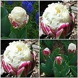 50 semillas de tulipán raras para jardín, jardín, jardín, jardín, oficina, bonsái, decoración de bonsái, semillas de tulipán raras para mujeres, hombres, niños, principiantes, jardineros regalo