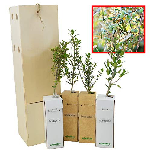 Acebuche - Olivo - Arbolito de pequeño tamaño (4)