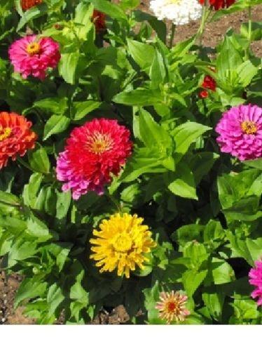 Zinnia, Californie Giants Graines de fleurs (fleurs emballées 70+ main frais)