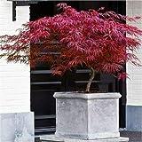 Acero Rosso Giapponese'Acer Palmatum Dissectum Firecracker' in vaso ø20 cm