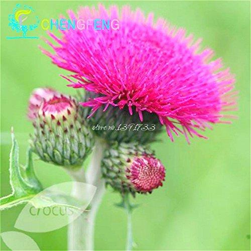 50 Pcs Un sac chrysanthème spécial Graines rares Plantes en pot Diy Indoor Seed / Pot d'extérieur Germination taux de 95% Accueil Jardin