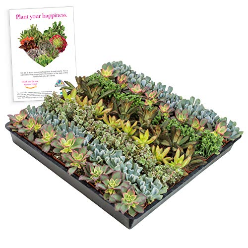Altman Plants Mini Live Assorted Succulents Weddings, Party favors, DIY terrariums, Gifts 2' 64 Pack