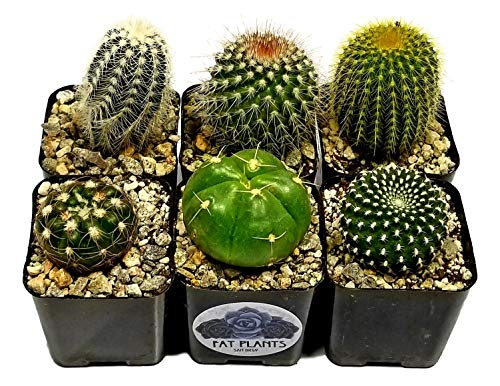 Fat Plants San Diego Mini Cactus Plants in Plastic Planters