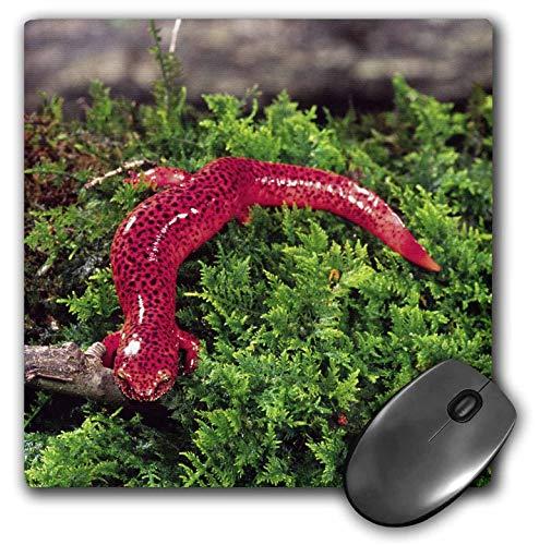 Schwarzes Kinn Roter Salamander Eidechse Georgia David Northcott Mauspad