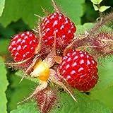 100 Piezas De Semillas De Frutas Raras Frambuesa/Mora/Fresa/Kiwi Semillas De Frutas Nutritivas Bonsái Semillas de frambuesa