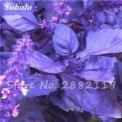 500 Pcs Violet Basil Sweet Seeds Aromatique Ocimum basilicum Graines de légumes biologiques parfumantes pour jardin Plantes Livraison gratuite 2