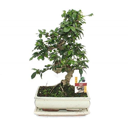 Bonsai Fukientee - Carmona microphylla - environ 10 ans