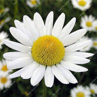 Promotion! 100 Pcs Tansy semences 2 types Couleurs Graines de fleurs de haute qualité Bonsai vivace Blooming Plantes Fleurs jaunes en vente