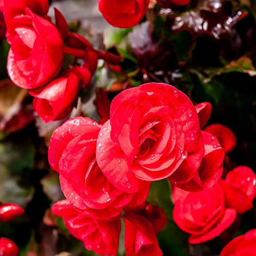 Outsidepride Red Begonia Seeds - 500 Seeds