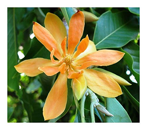 Magnolia champaca - Joy perfume tree - 10 graines