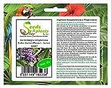 Unit 10x Hardenbergia comptoniana Pianta rampicante Purple Wheels purple B2097 Semi Piante Negozio Banca di semi Pfullingen Patrik Ipsa Il tempo di germinazione per i semi nelle nostre offerte è di circa 1 a 6 settimane e con una dimensione di 3-4 cm...