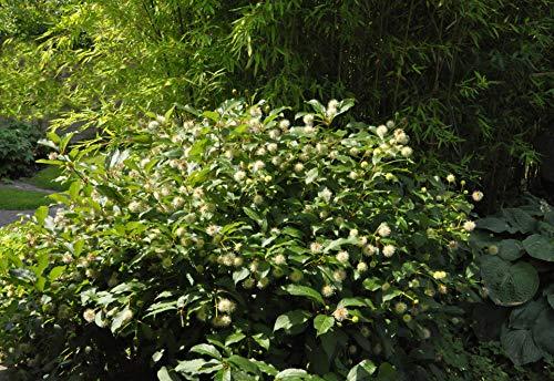 Cephalanthus occidentalis Knopfbusch im...