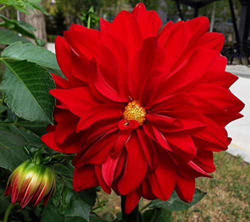 Dahlienzwiebeln, Charm, seltene Arten, Herbstblumen, besonders magisch, starke Wurzeln, winterhart, exotisch, 3 Dahlien-Zwiebeln