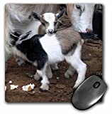 3dRose LLC 8 x 8 x 0.25 Inches Pygmy Goat Family Mouse Pad (mp_1285_1)