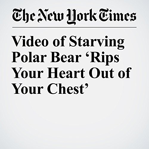 Video of Starving Polar Bear 'Rips Your Heart Out of Your Chest' copertina